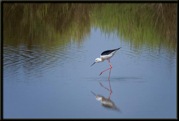 Wasservogel in der Camargue