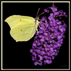 Zitronenfalter-Männchen auf Schmetterlingsflieder