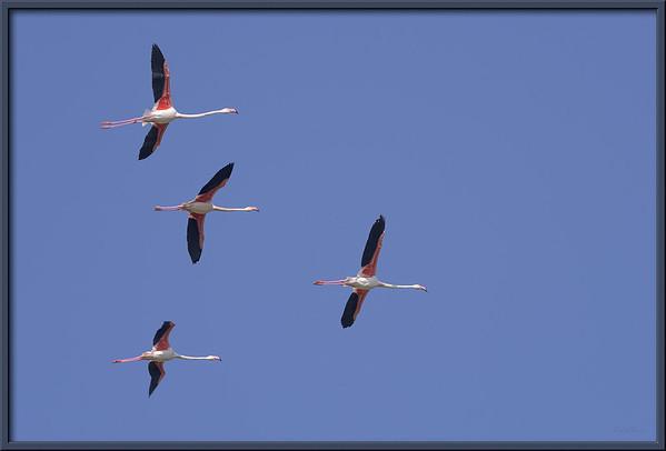 Flamingos, Provence