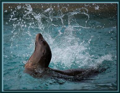 Seelöwe beim Spiel im Wasser