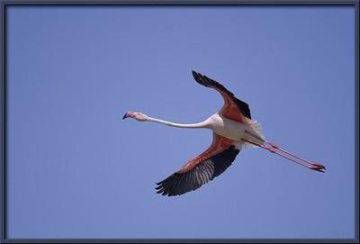 Flamingo im Flug, Provence