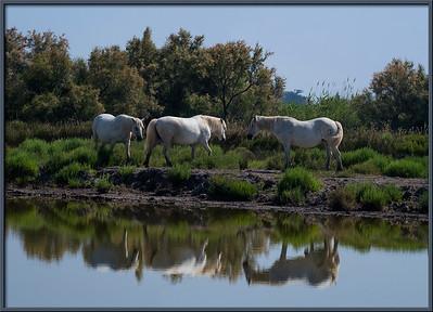 Pferde in der Camargue, Provence