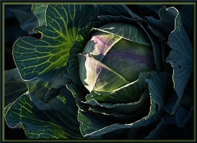 Samurai Cabbage