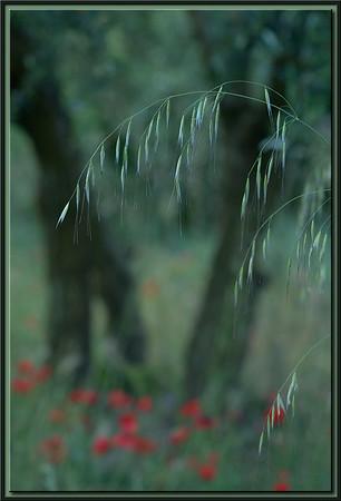 Gräser vor Olivenbaum